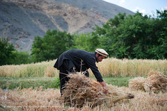 A farmer holds a freshly cut bundle of wheat in the Panjshir valley (Alex Treadway) Tags: 2024years afghanistan asia cut cutting eastern farming field fields green harvest harvesting hills himalaya himalayas holding labour man panjshir panjshirvalley ruralscene smile traditionalclothing work working afghan agriculture bread bundle collecting colorimage crop cultivate culture environment farmer flora flour food foodanddrink fresh freshlycut freshness gather grain grass grow growing growth happy hard hat husk land naturalworld nature onemanonly oneperson outdoors outside people photography produce realpeople ripe sideview smiling standing straw sunny terrace traditional traveldestination wheat yield