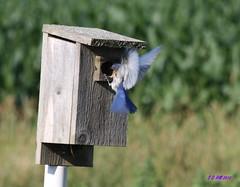 168/365 ~ Bluebird in Flight (S D Hill) Tags: colour july days 365 bluebird darkblue 365d
