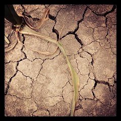 Drought in the Midwest! (jmurphpix) Tags: weather square dead corn midwest earth farm dry iowa soil drought squareformat land sutro crops stalk cracked nowater iphoneography instagramapp uploaded:by=instagram agchat