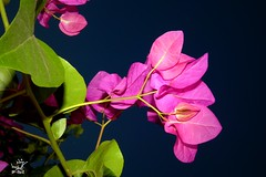 bougainvillier - (nuit amricaine)  bon week end... Bon 14 juillet pour les franais (Rached MILADI - ) Tags: macro fleur lumix vert panasonic fz verdure flore    bougainvillier  rached fz150 miladi    nuitamriciane
