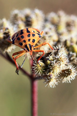 striped and dotted shield bug (Φ-Filippos-Κ) Tags: bug insect cyprus shield kypros φύση έντομα fasouri κύπροσ