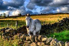 406 - Around Horwich - Georges Lane - Horse in Field (Gary Forrest) Tags: summer horse white field animal photo nikon file single lane around scenes georges f28 hdr horwich d800 2470mm tonemap