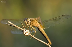 Crocothemis erythraea  (sam_thanasis) Tags: river dragonflies greece crete heraklion odonata erythraea crocothemis almiros