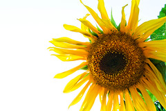 """Rowan Hull - Sunflower • <a style=""""font-size:0.8em;"""" href=""""http://www.flickr.com/photos/77881881@N06/7686487142/"""" target=""""_blank"""">View on Flickr</a>"""
