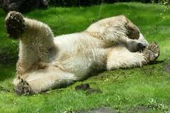 Happy Felix***Happy Sunday (BrigitteE1) Tags: white green animal fun happy big flickr felix panasonic polarbear eisbr ursusmaritimus happysunday happyfelix