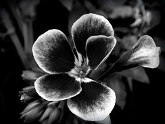 - (Droogl) Tags: bw white black flower bn