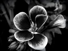 - (Droogl) Tags: bw white black flower bn
