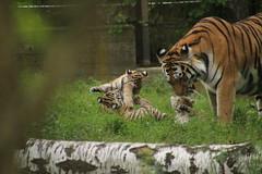 Amur tiger cubs wrestling (Korkeasaaren elintarha) Tags: korkeasaarenelintarha korkeasaari helsinkizoo helsinki amurtiger amurintiikeri tiger tigercub tigercubs hgholmensdjurgrd hgholmen pantheratigrisaltaica zoo zooanimals