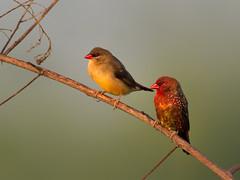 Red Avadavat (Red Munia, Strawberry Finch) _ Pulau Punggol Barat  (mahi mahi 163) Tags: avadavat munia finch 600mm singapore