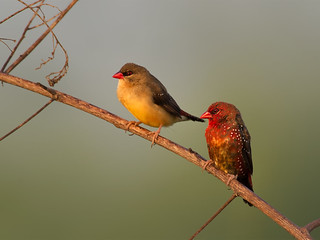 Red Avadavat (Red Munia, Strawberry Finch) _ Pulau Punggol Barat ☺☺☺