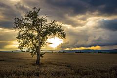 before the rain (ChrisTalentfrei) Tags: cloudy weather tree lonely field sundown sun summer sky clouds rain brinenbaum baum feld feldweg konika minolta 17mm 1735mm sony a7 sonyalpha ilce7 fullframe wideangle uww ultrawide
