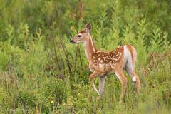White-tailed Deer (stephaniepluscht) Tags: montana 2016 polebridge north fork flathead river fawn white tail tailed deer whitetail whitetailed