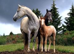 Family (Mattia Camellini) Tags: cavalli horses natura nature canoneos7d mattiacamellini alpedisiusi dolomiti italia animali trio explore