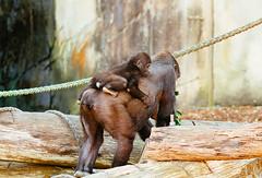 Getting a ride (VirtualWolf) Tags: animal australia bokeh canonef135mmf2lusm canoneos7d equipment gorilla mosman newsouthwales places primate sydney tarongazoo techniques wildlife