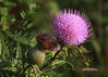 Tall Thistle (f4fwildcat...Tom Andrews Photography) Tags: flowers wildflowers domestic tallthistle wooleyverbena fall plainssunflower indianmustard hybiscus snowonthemountain kansasprairie kansaswildflowers f4fwildcat tomandrewsphotography