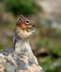 Golden-mantled Ground Squirrel  8882 (Bonnieg2010) Tags: goldenmantledgroundsquirrel groundsquirrel wild nature animal kananaskiscountryprovincialpark kananaskis rockglacier alberta rocks bonniegrzesiak