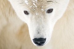 1313249 (iericdcline) Tags: arctic clearedforglobaluse polarbear ska adultanimal alaska animalface animalhead animalnose arcticnationalwildliferefuge babies barterisland bears book browneyes carnivores catalogue2 closeup closeups endangered faces fur gentle heads kind lookingdown maleanimal mammals marine nature nobody northamerica noses oneanimal outdoors polar portraits snow thoughtful usa vertebrates white whitecolour wildlife wildliferefuge
