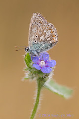 Forget - me - not (Ausha De Silva) Tags: 2016 commonblue forgetmenotforgetmenot dew wildflower lepidoptera butterfly