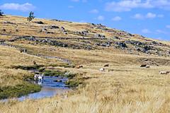 16 2029 - Lozre, paysage en Aubrac (jeanpierreossorio) Tags: lozre aubrac compostelle randonne eau rivire animaux vache troupeau paysage