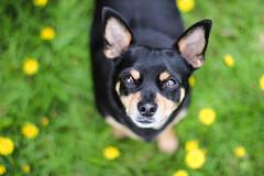 Tt (astakatrin) Tags: dog mix animal pet nature iceland flowers chihuahua miniature pinscher
