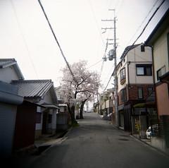 power puff (troutfactory) Tags: suburban suburbia  sakura cherry blossoms tree spring  blossomviewing   toyonaka  osaka  kansai  japan holga toycamera analogue film mediumformat square fujipro400