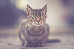 1.4/85 (Bokehschtig (OFF)) Tags: dof bokeh shallowdepthoffield depthoffield dephtoffield cat katze tiger kitten striped animal sony a7 sonya7 sonyalpha sel85f14gm 85mm f14