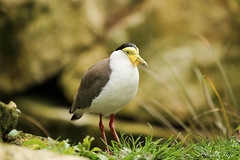 Hooded lapwing (dayho78) Tags: hooded lapwing bird birds