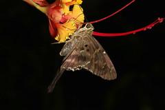 Hesperiidae sp. (Long-tailed Skipper) - Costa Rica (Nick Dean1) Tags: hesperiidae skipper lepidoptera moth animalia arthropoda arthropod hexapoda hexapod insect insecta costarica lacruz guanacaste
