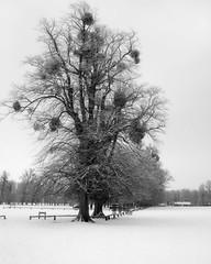 Stamford-in-the-Snow (Ray Devlin) Tags: stamford lincolnshire england nikon d300 winter snow black white blackandwhite burghley house mistletoe