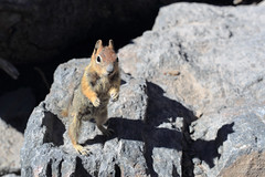 Give me your lunch right now! (fksr) Tags: goldenmantledgroundsquirrel callospermophiluslateralis standing rocks craterlake oregon animal
