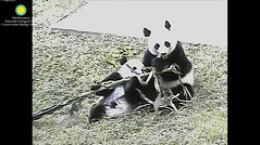 2016_09-05 (gkoo19681) Tags: beibei meixiang cornstalk sharingiscaring togetherness soyummy stealing ccncby nationalzoo