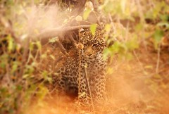 Botswana (ClaDae) Tags: botswana africa animal wildlife leopard travel planet earth world free colors wow
