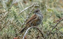 Coastal beauty (davidrhall1234) Tags: dunnock birds bird birdsofbritain pembrokeshire placestowatchwildlife wildlife world coast coastal nature nikon nikond7100 feather