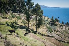 Cows (atsubor) Tags: peru titicaca puno taquile lake island