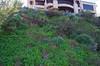 Tropaeolum majus and Argyranthemum frutescens ssp foeniculaceum, Swan River, Dalkeith, Perth, WA, 12/08/16 (Russell Cumming) Tags: plant weed argyranthemum argyranthemumfrutescens argyranthemumfrutescensfoeniculaceum asteraceae tropaeolum tropaeolummajus tropaeolaceae swanriver dalkeith perth westernaustralia
