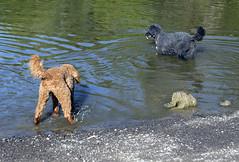 2703 (Jean Arf) Tags: ellison park dogpark rochester ny newyork september autumn fall 2016 poodle dog standardpoodle astrid gladys water wet pond
