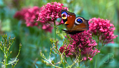 Butterfly (JanBures_com) Tags: butterfly macro detail flower autumn plant insects
