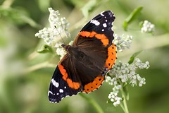 Red Admiral Butterfly (Vanessa atalanta) (Douglas Heusser) Tags: hiking cove palmyra nature wildlife heusser lens 90mm tamron photography macro canon arthropod insect lepidoptera butterfly admiral red atalanta vanessa