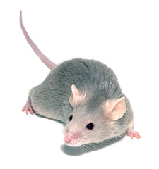Pests Mice Rats Etc (British_Pest_Control_Association) Tags: mousemicegrayrodentsmallanimaltailpinkisolated mouse mice rodent pet small whiskers nose pink grey gray unitedstatesofamerica