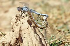 Orthetrum nitidinerve (Selys, 1841) - copula (Andreas Th. Hein) Tags: dragonfly dragonflies libellen libelle segellibelle insekten odonata libellulidae makro macro anisoptera