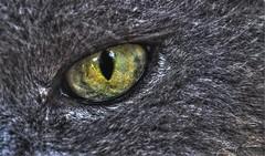 Cat's Eye (- Fabrizio -) Tags: cat gatto occhio eye yellow grey persiano micio miao macro d5000 nikon nikond5000 romeo