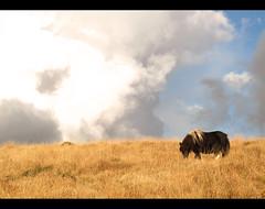 Dartmoor feelings (Giuseppe Suaria) Tags: park uk england sky horse cloud field clouds nuvole britain pony devon national cielo dartmoor cavallo inghilterra campi