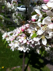 Primavera / Spring / Frhling (pbeppler) Tags: seattle wild primavera apple fruit washington spring flor stock bee abelha sidewalk ornamental blte honeybee baum corderosa apfel apfelbaum biene crabapple calada florido ma rosinha plen fruteira rosado ptala frling stateofwashington ornamentaltree ebbl rosadinho rvoreornamental rosabranco eppl fruitingtree abelhademel brancorosa caladadepasseio apfelstock ppelstock pplstock bbelstock bblstock epplstock eppelstock ebbelstock ebblstock macieirasilvestre silvestrewildeapfelbaum ppl pplboom epplboom bbl bbleboom wildapfelblhte wildpplblihte wildapfelblumen flordemacieirabrava flordemacieirabraba macieirabrava holzbapfel holzppel holzppl holzeppel holzeppl holzbbl holzbbel fussgang