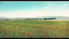Poppies Field  (Luigi Pica) Tags: poppiesfield campodipapaveri