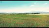 Poppies Field • (Luigi Pica) Tags: poppiesfield campodipapaveri
