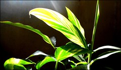 Beams of morning Sun... (Veena-Nair) Tags: greenplants nikoncoolpix beautifulmorning morningrays godmorning beamsofmorningsun