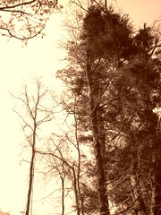 reach (LauraSorrells) Tags: trees winter favorite nature sepia forest word heart silence only tall february cistercian trappist 2010 threshold thomasmerton noclock thewildwood idontrememberwhereitookthis mondaysext