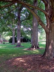 Campus As Arboretum (Melinda Stuart) Tags: park trees campus nc grove arboretum trunks davidson piedmont 2012 oldtrees dappledlight davidsoncampus mystuart