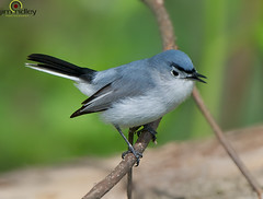 The Blue-gray Gnatcatcher! (JRIDLEY1) Tags: blue gray bluegraygnatcatcher polioptilacaerulea jridley1 httpjimridleyzenfoliocom mygearandme photocontesttnc12