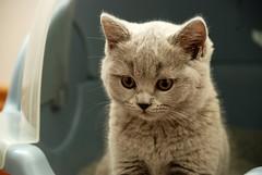 DSC_7713 (mikka2009) Tags: blue cat kitten shorthair british nibbler blaue britisch kurzhaar bkh britishshorthairblue bestofcats flickraward blauebritischkurzhaar
